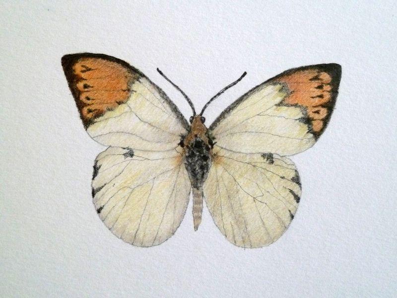 Images Of Butterflies In Flight. of utterflies in flight.