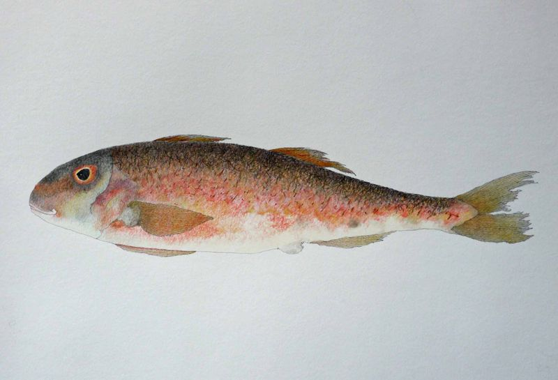 Simple red mullet